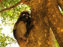 Spectacled langur na drzewie (Trachypithecus obscurus) fotografia stock