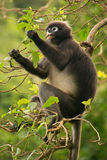 Spectacled langur sitting in a tree, Ang Thong National Marine P Stock Photo