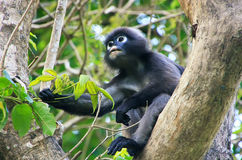 Spectacled langur sitting in a tree, Ang Thong National Marine P Stock Images