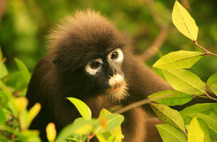 Spectacled langur sitting in a tree, Ang Thong National Marine P Stock Image