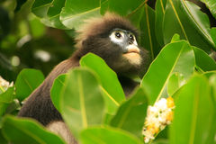 Spectacled langur sitting in a tree, Ang Thong National Marine P Royalty Free Stock Photography
