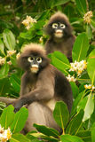 Spectacled langur sitting in a tree, Ang Thong National Marine P Royalty Free Stock Images