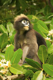 Spectacled langur sitting in a tree, Ang Thong National Marine P Stock Photography