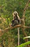 Spectacled langur sitting in a tree, Ang Thong National Marine P Royalty Free Stock Photos