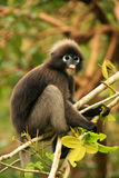 Spectacled langur sitting in a tree, Ang Thong National Marine P Royalty Free Stock Photo