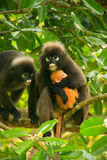 Spectacled langur sitting in a tree with a baby, Ang Thong Natio Royalty Free Stock Image