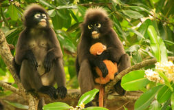Spectacled langur sitting in a tree with a baby, Ang Thong Natio Stock Images
