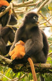 Spectacled langur sitting in a tree with a baby, Ang Thong Natio Royalty Free Stock Photography