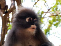 Spectacled langur (Trachypithecus obscurus) close-up Royalty Free Stock Photo
