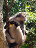 Spectacled langur (Trachypithecus obscurus) on a tree Royalty Free Stock Image