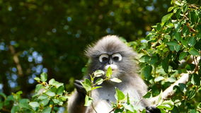 Spectacled langurs in nature. stock footage