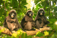Spectacled langurs sitting in a tree, Ang Thong National Marine Stock Images