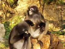 Spectacled langurs (Trachypithecus obscurus) on a tree Royalty Free Stock Photos