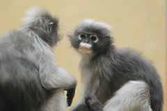 Spectacled leaf monkey Stock Image