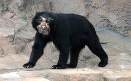 Spectacled niedźwiedź lub Andyjski niedźwiedź jesteśmy endemicznym niedźwiedziem Ameryka Południowa zdjęcia stock