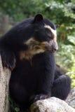 Spectacled niedźwiedź na skale Zdjęcie Royalty Free