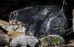 Spectacled niedźwiedź 20 obraz royalty free