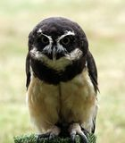 spectacled owl royaltyfria foton