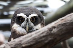 Spectacled Owl. The spectacled owl is a bird of the Andes mountains Stock Images