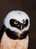 Spectacled owl Stock Image