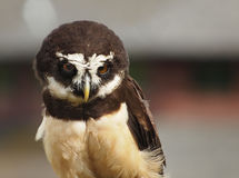 Spectacled owl Royalty Free Stock Photos