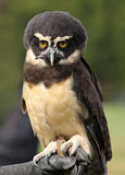 Spectacled Owl Royalty Free Stock Images