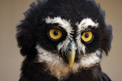 Spectacled Owl. With large yellow eyes Stock Photography