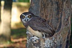 Spectacled Owl Royaltyfri Fotografi