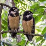 Spectacled Owl Royaltyfri Foto