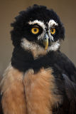 Spectacled Owl. Closeup of a Spectacled Owl against a blurred background Royalty Free Stock Photo