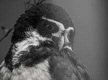 Spectacled owl face closeup in black and white, tropical bird from America stock image