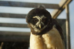 Spectacled Owl - Pulsatrix perspicillata Stock Photo