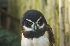 Spectacled Owl - Pulsatrix perspicillata Royalty Free Stock Photography