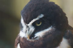 Spectacled Owl - Pulsatrix perspicillata Royalty Free Stock Photos