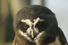 Spectacled Owl - Pulsatrix perspicillata Royalty Free Stock Photo