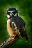 Spectacled Owl, Pulsatrix perspicillata, big owl in the nature habitat, sitting on the green spruce tree branch, forest in the bac Royalty Free Stock Photo