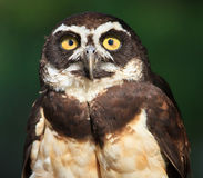 Spectacled Owl, Pulsatrix perspicillata, Close-up Stock Images
