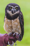 The Spectacled Owl, Pulsatrix perspicillata Stock Photos