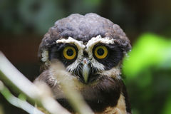 A spectacled owl (Pulsatrix perspicillata), Costa Rica Royalty Free Stock Photos