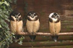 Spectacled Owl - Pulsatrix perspicillata Royalty Free Stock Photos