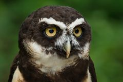 Spectacled Owl - Pulsatrix perspicillata Royalty Free Stock Image