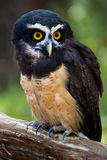 Spectacled owl. A spectacled owl purched on a branch Stock Photography
