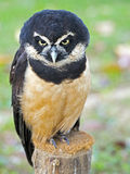 Spectacled owl Royalty Free Stock Photo