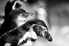 Spectacled penguins heads close-up Royalty Free Stock Image