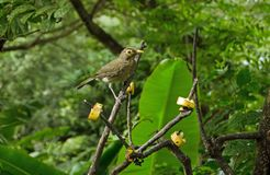 Spectacled Thrush, Tobago. A spectacled thrush, latin name Turdus nudigenis, pauses to gaze at the camera while pecking at slices of banana left on branches Royalty Free Stock Images