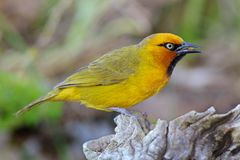 Male Spectacled Weaver Stock Images