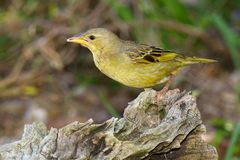 Female Spectacled Weaver Royalty Free Stock Photo