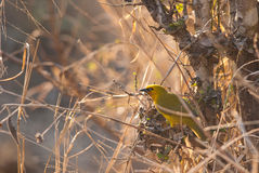 Spectacled Weaver Royalty Free Stock Photo