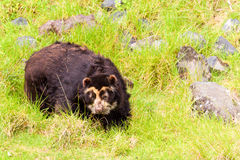 Spectacled Wild Andean Bear Stock Photography