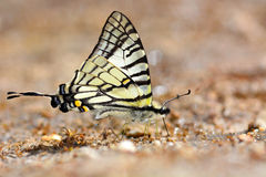 Spectacles Swordtail butterfly Stock Photos